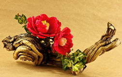 Camellias blossom arrangment Royalty Free Stock Image