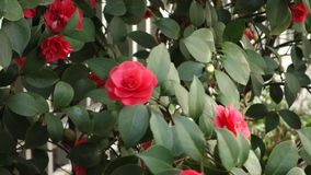 Camellias stock video footage