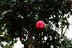 Camellias Stock Photos