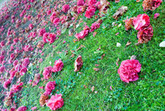 Camellias carpet Royalty Free Stock Photography