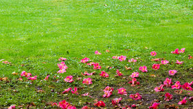 Camellias and grass Stock Photography
