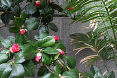 Camellias and palms against a concrete wall royalty free stock image
