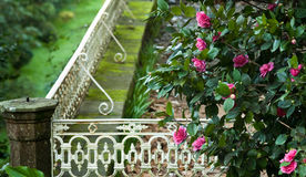 Camellias in the park Royalty Free Stock Image