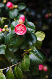 Camellias in the tree Stock Photos