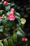 Camellias in the tree Stock Photos