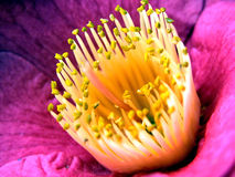 camelliasinensis Royaltyfri Bild