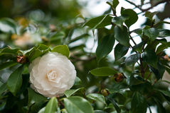 camelliawhite Royaltyfri Fotografi