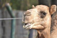 Camello árabe Imagen de archivo libre de regalías