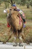 Camello Imagen de archivo libre de regalías