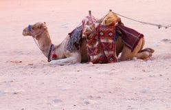 Camello Foto de archivo libre de regalías