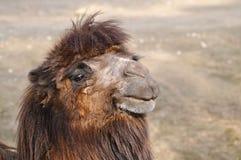 Camello Imagenes de archivo