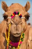 Camello adornado Imagen de archivo libre de regalías