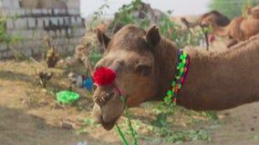 Camello adornado almacen de metraje de vídeo