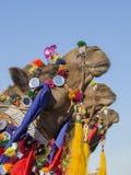 Camello adornado en el festival del desierto en Jaisalmer, Rajasthán, la India Fotos de archivo libres de regalías