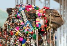Camello adornado en la feria de Pushkar. Rajasthán, la India, Asia Imagenes de archivo