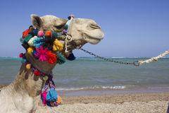 Cara adornada del camello en Egipto Imágenes de archivo libres de regalías