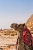 Camello al lado de la pirámide en Giza, El Cairo Foto de archivo libre de regalías