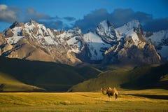 Camello al lado de Sary-Beles 1 Foto de archivo libre de regalías