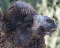 Camello bactriano Fotografía de archivo libre de regalías