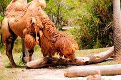 Camello bactriano con mún día del pelo en parque zoológico Fotos de archivo