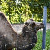 Camello bactriano detrás de la cerca de alambre Imagenes de archivo