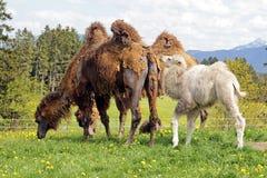 Camello bactriano femenino de Brown con el cachorro blanco Imagen de archivo libre de regalías