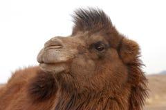 Camello bactriano salvaje Fotografía de archivo libre de regalías