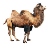 Camello bactriano sobre el fondo blanco Foto de archivo libre de regalías