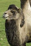 Camello bactriano solitario en una granja Imagenes de archivo