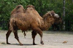 Camello bactriano y perro de las praderas de cola negra Imagen de archivo libre de regalías