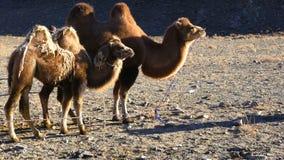 Camello bactriano y su situación del becerro almacen de metraje de vídeo
