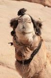 Camello beduino en harness Foto de archivo libre de regalías