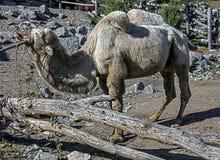 Camello blanco Imagenes de archivo