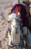 Camello blanco que descansa en la arena en el desierto Fotografía de archivo libre de regalías