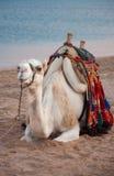 Camello cómodo Fotografía de archivo libre de regalías