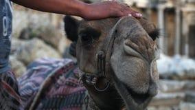 Camello cansado que se sienta en la arena metrajes