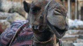 Camello cansado que se sienta en la arena almacen de metraje de vídeo