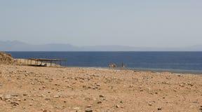 Camello cerca del mar Imagen de archivo libre de regalías