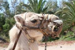 Camello con el harness Imágenes de archivo libres de regalías