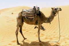 Camello con las dunas en Sahara Desert, T?nez fotos de archivo