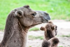 Camello con su descendiente, camello del bebé, mintiendo en la hierba, en el parque zoológico fotos de archivo libres de regalías