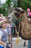 Camello con un instructor en el festival del 89.o día el nacimiento de la región de Leningrad Ciudad de Slantsy Rusia Fotos de archivo libres de regalías
