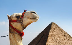 Camello con una pirámide en fondo Fotos de archivo libres de regalías