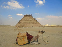 Camello contra la pirámide de Dzhoser Fotografía de archivo libre de regalías