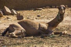 Camello curioso Imagenes de archivo