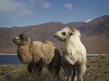 Camello de dos bebés, Kirguistán, valle de Chui Fotos de archivo libres de regalías