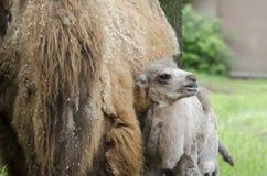 Camello 3 de la madre y del bebé Imágenes de archivo libres de regalías