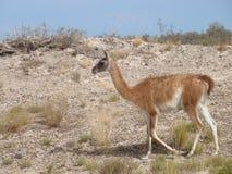 Camello de la Patagonia, Guanaco Fotografía de archivo