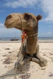 Camello de la playa Fotos de archivo libres de regalías