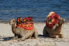 Camello de la playa Imágenes de archivo libres de regalías